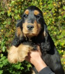 Cocker spaniel Black&tan valp