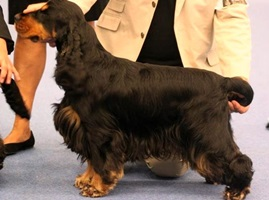 black&tan stud dog cocker spaniel